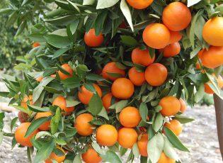 Citrus and dental health