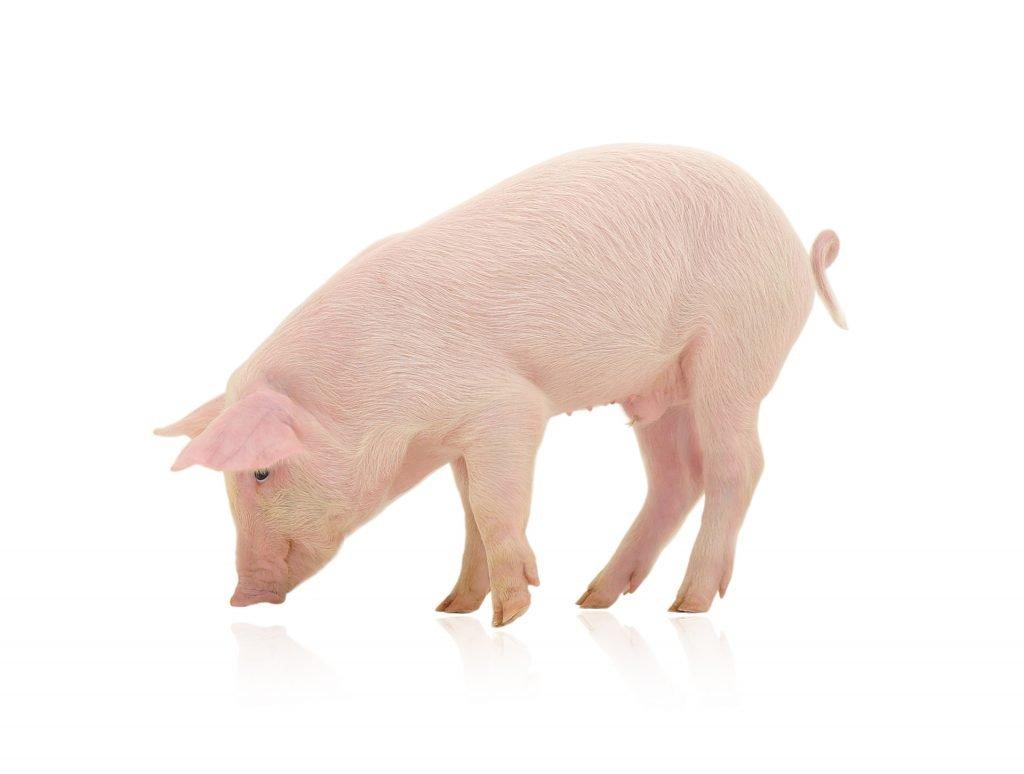 10 dental facts - pig's hair