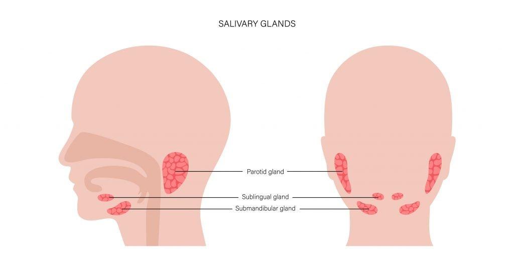 salivary glands - Your amazing saliva